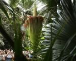 巨花魔芋(又名泰坦魔芋)由于开放时发出的恶臭,通常被称作尸花。图为华盛顿特区美国植物园学院的尸花在2016年8月3日盛开。(Alex Wong/Getty Images)