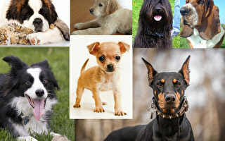 組圖:您選擇的犬種透露您的個性