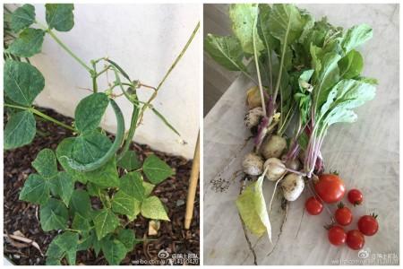 """23日,章子怡在微博晒出和女儿""""醒醒""""一起在自家小菜园种的扁豆、西红柿和萝卜等蔬果。(微博图片/大纪元合成)"""