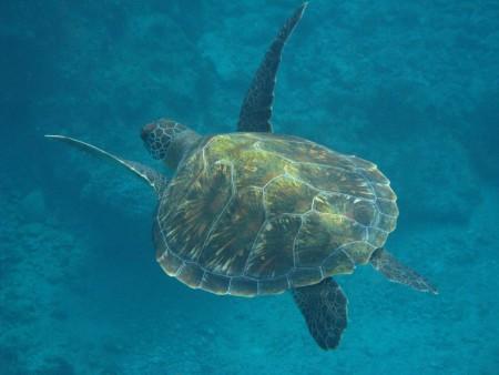 澎湖消防員涉嫌綠蠵龜宰殺案,檢方依違反《動物保育法》起訴。圖為綠蠵龜。(小琉球鄉公所/提供)