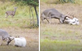 不服羊角挑衅的鹿儿 对羊穷追不舍直到吓跑小羊
