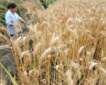 河南省新鄉市,因為當地種植和銷售的鎘含量超標的毒小麥被陸媒陸續曝光。(AFP)