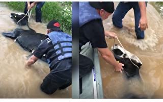 男子们洪水中救起一头牛 最后的这个举动好感动……