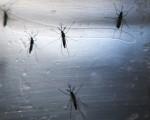 茲卡病毒主要通過蚊子傳播,政府再三提醒孕婦不要前往疫區。 (Mario Tama/Getty Images)