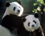 洋洋和伦伦在亚特兰大动物园中嬉戏。(Getty Images)