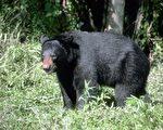 日本群馬野生自然動物園16日傳出黑熊攻擊園方人員事件,造成一名46歲女員工傷重不治。(fotolia)