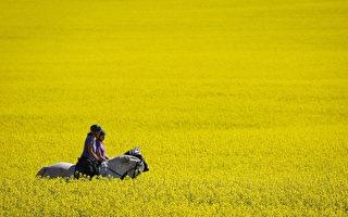 芥菜籽成加拿大总理特鲁多访华重要议题