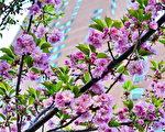 吕志鹏《樱花盛开》获得樱花比赛第三名。 (中华总商会提供)
