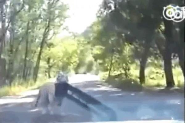 老虎将轿车的保险杠连带着车牌一同撕咬下来,并带进树林里。(视频截图)
