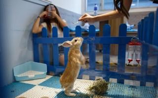 在香港新開幕的兔子咖啡店Rabbitland,提供都市居民滋潤心靈的嶄新空間。(Anthony WALLACE / AFP)