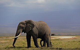 图为肯尼亚安博塞利国家公园的大象在草原上吃草。(TONY KARUMBA/AFP)