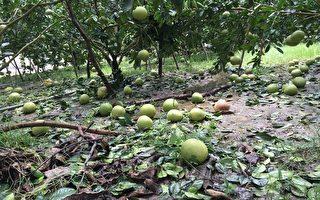 強颱莫蘭蒂重擊高雄,番石榴、蜜棗、香蕉等主力農產品受損嚴重,災損高達4億7500萬元。(高市農業局提供)