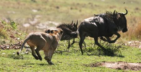 81775095DK009_Kenyan_Safari