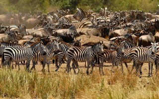 2016年9月12日,馬賽馬拉野生動物保護區年度牛羚遷徙期間,斑馬聚集。(CARL DE SOUZA/AFP/Getty Images)