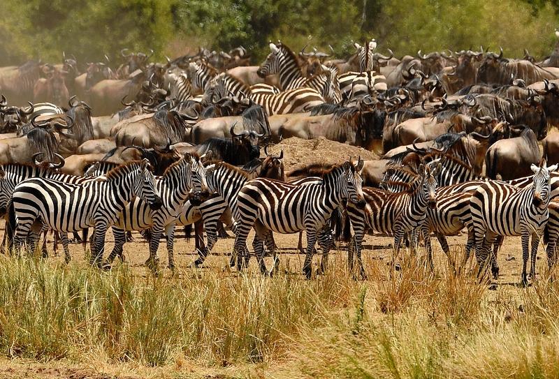 肯雅馬賽馬拉牛羚大遷徙