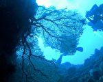 """人为破坏又碰上台风季节,兰屿蓝洞美丽的大海扇,缺了数块,潜水教练形容就像电视剧里""""济公拿的扇子"""" 。(兰屿蓝海屋潜水提供)"""