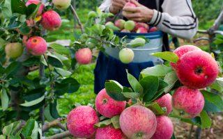 纽约入秋 苹果采摘最佳季节