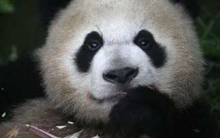 澳门居民的一个网上投票将6月26日在澳门出生的一对孪生熊猫仔赐予贪贪和污污的绰号。 (John Moore/Getty Images)