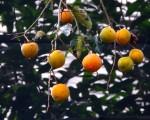 柿子(王嘉益 / 大纪元)