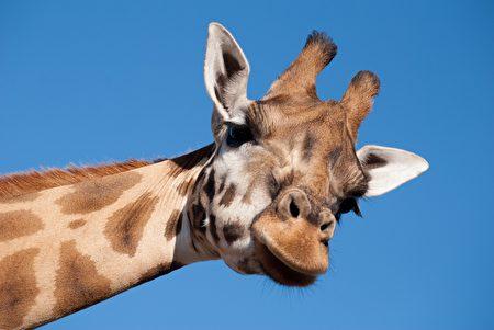 科學家承認,對長頸鹿知之甚少。(pixabay)