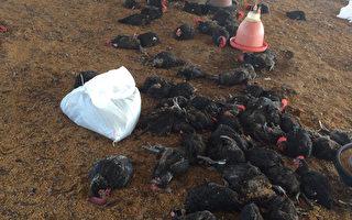 彰化縣竹塘鄉一家土雞場出現雞隻異常死亡情形,檢驗 確認感染新型H5N2亞型高病原性禽流感病毒,2日撲殺2 萬3008隻土雞。 (彰化縣政府提供/中央社)