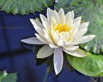 白莲花与水池塘倒影绽放(fotolia)