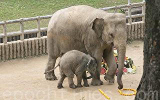 組圖:首爾大公園小象過「百日宴」