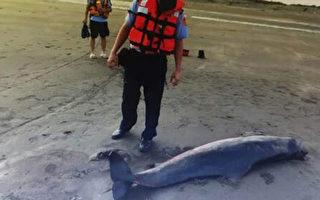 海巡署岸巡23大隊4日上午接獲通報,觀音海水浴場發現1頭長約2米的侏儒抹香鯨,已經死亡,大隊人員前往了解處理,等候鯨豚協會抵達處理後續。(岸巡23大隊提供)