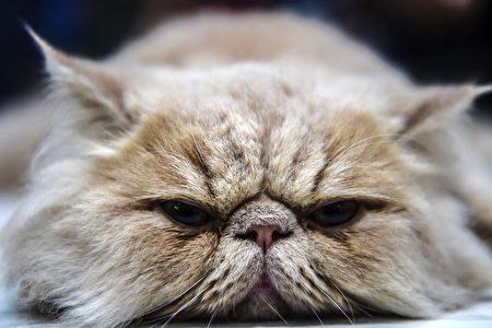 組圖:2016國際貓展 名貓薈萃伊斯坦布爾 | 純種貓