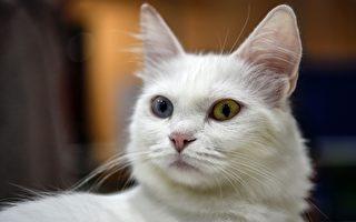 2016年10月16日,由世界联合猫会主办的国际猫展在土耳其伊斯坦布尔举办。(OZAN KOSE/AFP/Getty Images)