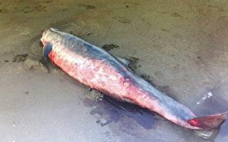 觀音海水浴場發現死亡侏儒抹香鯨(海岸巡防署/提供)