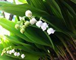 美国纽约上州冷泉镇盛开的铃兰花。(李云飞/大纪元)