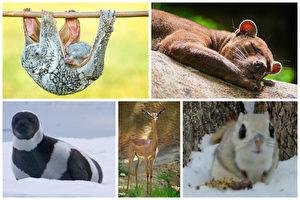 (左上起顺时针)飞行狐猴,马岛长尾狸猫,日本小鼯鼠,非洲瞪羚,环海豹。(大纪元合成)