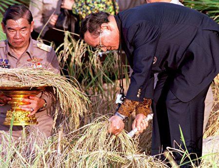 普密蓬关心民间疾苦,这是他在帮助收割水稻。 ( PORNCHAI KITTIWONGSAKUL/AFP/Getty Images)
