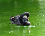 黑天鹅之类的事件在今天的世界上好像特别多,但天灭中共,算得上是最大的一件。图为一只黑天鹅在湖面上。(AFP)