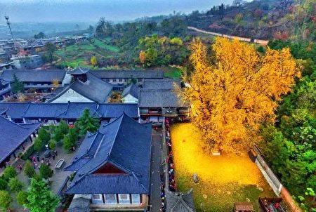 有1400历史的银杏村身披金色盔甲,引来众多游客观赏。(网络力片)