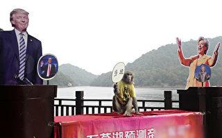 就在美国大选几天之前,湖南长沙一只被称为预言帝的猴子预测川普将当选总统。(STR/AFP/Getty Images)