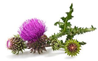 苏格兰国花──荆棘密布的蓟花