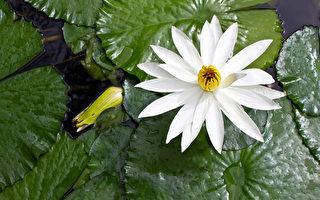 白莲花生长在池塘(fotolia)