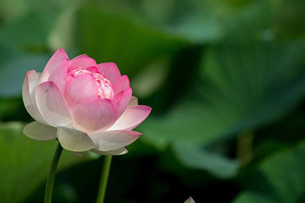 莲花(Fotolia)