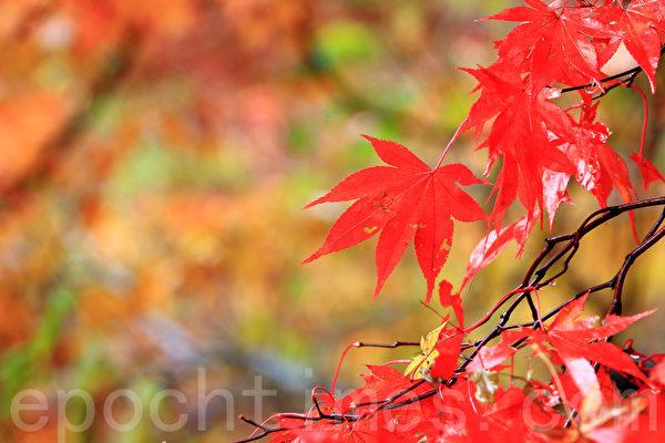 韩国内藏山枫景美如画。位于全罗北道井邑市的内藏山被称为韩国最美丽的枫景区,大约每年11月初为枫叶鼎盛期。(全景林/大纪元)