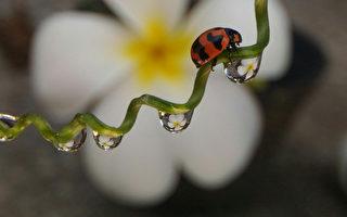手机捕捉茎叶间瓢虫  这张照片击退8千人