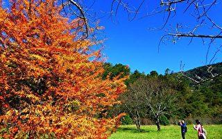 奥万大园区樱花园的落羽松开始变色了。(南投林管处提供)