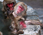 2015年12月,日本北海道函馆热带植物园,每年冬天12月至翌年5月,馆方都会在露天的猕猴区提供温泉水,让猴子们泡汤。(Photo by The Asahi Shimbun via Getty Images)