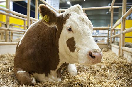 花斑牛是奶、肉生产两用牛,而且被视为对气候最为友好的牛种。(JOHN MACDOUGALL/AFP/Getty Images)