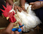 An Indian poultry worker gives a vaccine to a chicken at a poultry farm at Malaynagar some 25 km from Agartala, capital of India's northeastern state of Tripura on April 11, 2008.  The Tripura government has sounded a red alert across the state following reports of deaths of birds in two other districts besides the avian-flu hit Dhalai district where operations to slaughter 42,000 poultry birds in Tripura's bird-flu affected villages are under way. The remote northeastern state of Tripura is the second state after West Bengal in the country's east to report an outbreak of avian influenza this year.     AFP PHOTO/PARTHAJIT DATTA (Photo credit should read PARTHAJIT DATTA/AFP/Getty Images)