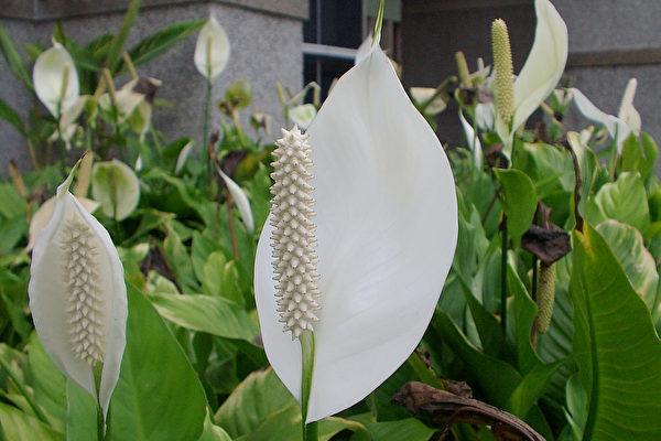 NASA的研究推薦18種具有淨化空氣能力的植物。圖為其中之一的白鶴芋。(王嘉益/大紀元)