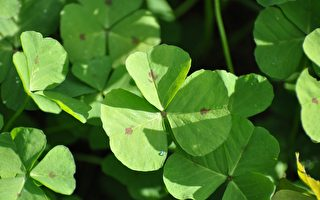 北爱尔兰国花——青翠欲滴的三叶草