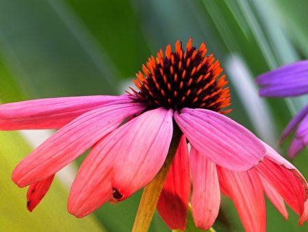 紫锥花萃取物可养护肾上腺,有提升免疫力、预防感冒的功效。(Fotolia)