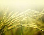 低头的麦穗,内在充实饱满,却始终低头,不张扬、不炫耀。(fotolia)
